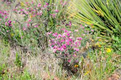 Microphylla sensibile della mimosa della pianta di Littleleaf Briar immagine stock