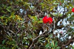 Microphyton ou Laliguras do rododendro fotografia de stock