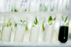 Microplants of cloned poplar in vitro in a nutrient medium Royalty Free Stock Image