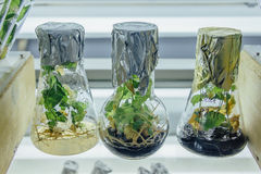 Microplants grown in flasks with nutrient medium using micropropagation technology in vitro Stock Photo