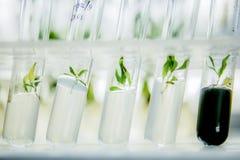 Microplants klonująca topola w Vitro w odżywka środku Obraz Royalty Free