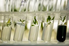 Microplants of poplar in vitro. Microplants of cloned poplar in vitro in a nutrient medium royalty free stock images