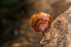 Microporus xanthopus Royalty Free Stock Image