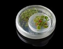 Micropropagation da drósera no prato de petri imagens de stock royalty free