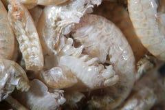 Microscópio crustáceo secado do Amphipoda Pulex de Gammarus dos artrópodes Imagem de Stock
