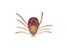 Microscoop - Tik (sanguineus Rhipicephalus) Stock Fotografie