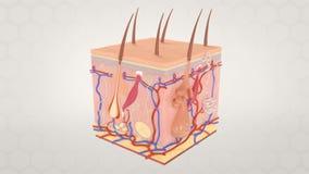 Microscopic Anatomy of the Skin Representation