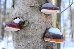 Fomes fomentarius is a stem decay plant pathogen. The species` mycelium penetrates the wood of trees through damaged bark or broke. Microscopic features.The Royalty Free Stock Photo