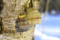 Cracks can occur in the affected tree due to wind. Microscopic features.The spores are lemon-yellow in colour, and oblong-ellipsoid in shape. They measure 15– Stock Image