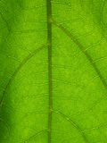 Microscopic plant leaf. Microscopic view of a green plant leaf Stock Image