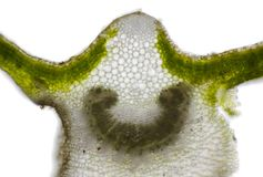 Microscopic view of Mallow Malva sp. leaf cross section. Brightfield illumination Royalty Free Stock Images