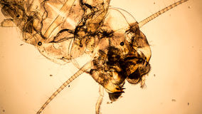 Microscopic vintage style photo of a mayfly nymph Royalty Free Stock Photos