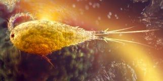Microscopisch schot van een cupepod royalty-vrije stock afbeelding