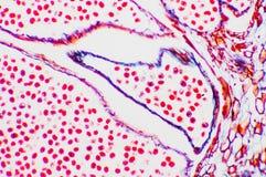 Microscopische cel Stock Afbeeldingen