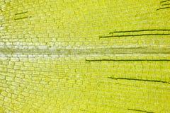 Microscopische mening van Canadees canadensisblad van waterpestelodea royalty-vrije stock afbeelding