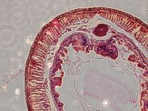 Microscopy images of intestine of earthworm Royalty Free Stock Photos