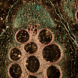 Microscopy micrograph plant tissue Stock Images