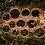 Microscopy micrograph stem of pumpkin Royalty Free Stock Photos