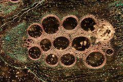 Microscopy stem of pumpkin Stock Images