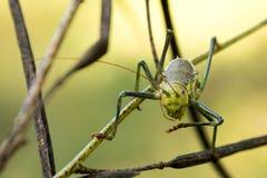 Microskott av gräshoppan från framdel royaltyfri fotografi
