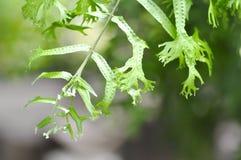 Microsorum punctatum or Mermaid& x27;s Tail fern. Fern ,Microsorum punctatum or Mermaid& x27;s Tail fern royalty free stock photo