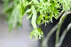 Microsorum punctatum or Mermaid& x27;s Tail fern. Fern ,Microsorum punctatum or Mermaid& x27;s Tail fern stock images