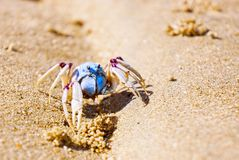 Mictyris longicarpus blue soldier crab. Close up of a single soldier crab on a sandy beach. These small crabs can be seen in armies on the sand and mudflats at stock images