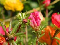 Micx flor de Portluca foto de stock