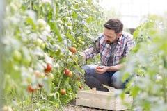 Free Mid Adult Man Harvesting Tomatoes At Farm Royalty Free Stock Photo - 135724275