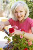 Mid age woman pruning geraniums Royalty Free Stock Photo
