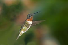 Mid-air flight. Ruby throated hummingbird is suspended in mid-air, wings beating Royalty Free Stock Photos
