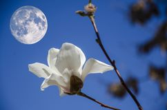 FLOWERs under Mid Autumn Festival. During the Mid Autumn Festival, white flowers is under the full moon stock photos