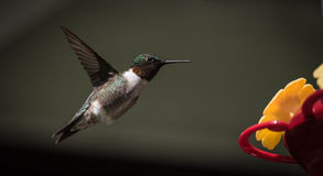Mid flight in springtime a hummingbird seeks out nourishment. Royalty Free Stock Photography