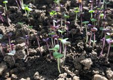 Young sprouts of Basil. royalty free stock images