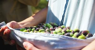 Mid-section of farmer collecting olives in farm 4k stock footage