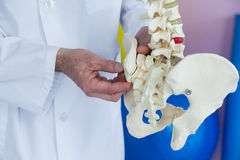 Mid section of physiotherapist examining a spine model Royalty Free Stock Photo