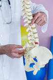 Mid section of physiotherapist examining a spine model Royalty Free Stock Images