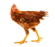 Mid-sized brown pullet walking on white Stock Photos