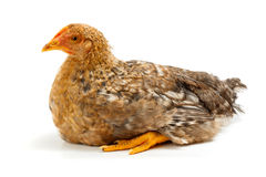 Mid-sized pullet sitting on white Royalty Free Stock Image