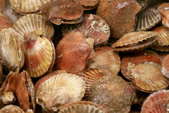 Mid-sized scallops on display royalty free stock photos