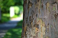 Mid-summer Sycamore Royalty Free Stock Image