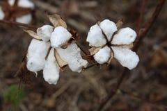 Mida el tiempo para cosechar el algodón imagen de archivo