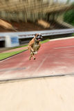 Midair capture of a boxer training to jump. Midair capture of a dog training to jump with focus on the pedigreed boxer and background motion blur Stock Photography