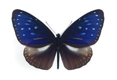 midamus мужчины euploea стоковое фото