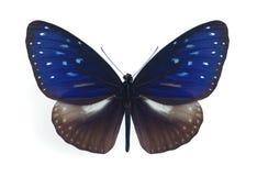 Midamus de Euploea (macho) Foto de Stock