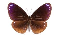 Midamus negro y marrón de Euploea de la mariposa aislado Foto de archivo libre de regalías