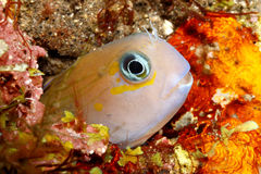 Midas Blenny Royalty Free Stock Photos