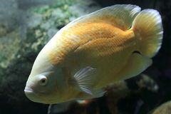 Midas cichlid Royalty Free Stock Photo