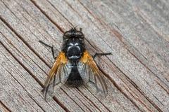 Middagfluga - Mesembrina meridiana Arkivbild