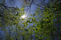 Sun glows through the top of these branches and big green leaves royalty free stock image